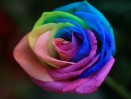 best-color-rose
