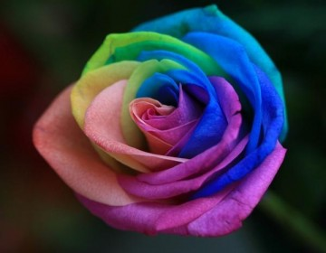 best-color-rose